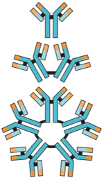 Basic structures of different antibody classes